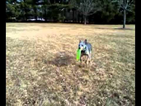 Myka the mini blue heeler catch a frisbee