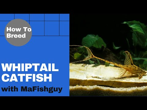 How To Care For, Breed, Plus Tell The Genders For The Whiptail Catfish