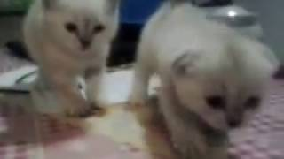 шотландские вислоухие котята николас и ларсон окрас поинт белые