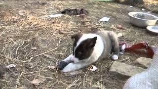 Щенок восточно сибирской лайки кушает крота.