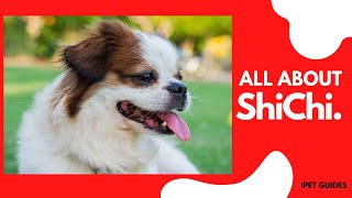 Shih Tzu Chihuahua Mix (ShiChi):Everything About The Designer Toy Breed
