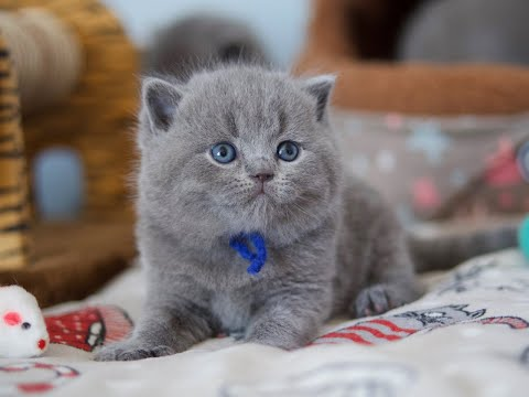 Британский котёнок Парамон в возрасте 4 недели