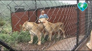 Kevin Richardson with Huge Lionesses