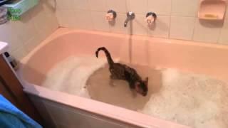 Шок! Коты которые любят купаться!!!