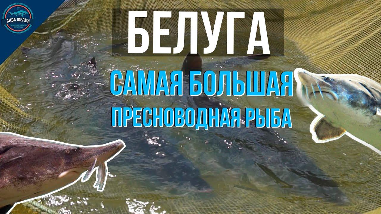 Белуга - обзор самой большой пресноводной рыбы