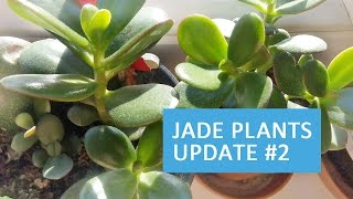 Jade Plants Update #2 | October 2016.