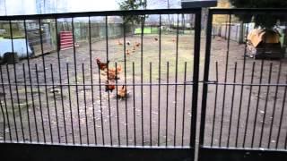 Zwierzęta na podwórku