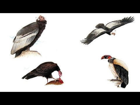 New World Vultures - All Vultures - Species List