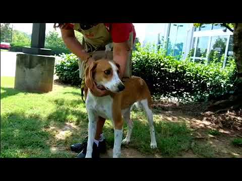 Meet Boomer a Foxhound American currently available for adoption at Petango.com! 8/25/2017 9:43:08