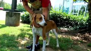 Boomer is a 1 ½ year old foxhound mix; he was an abandoned hunting ...