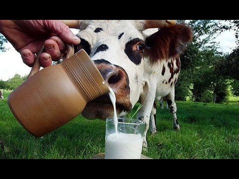 Польза и вред молока -