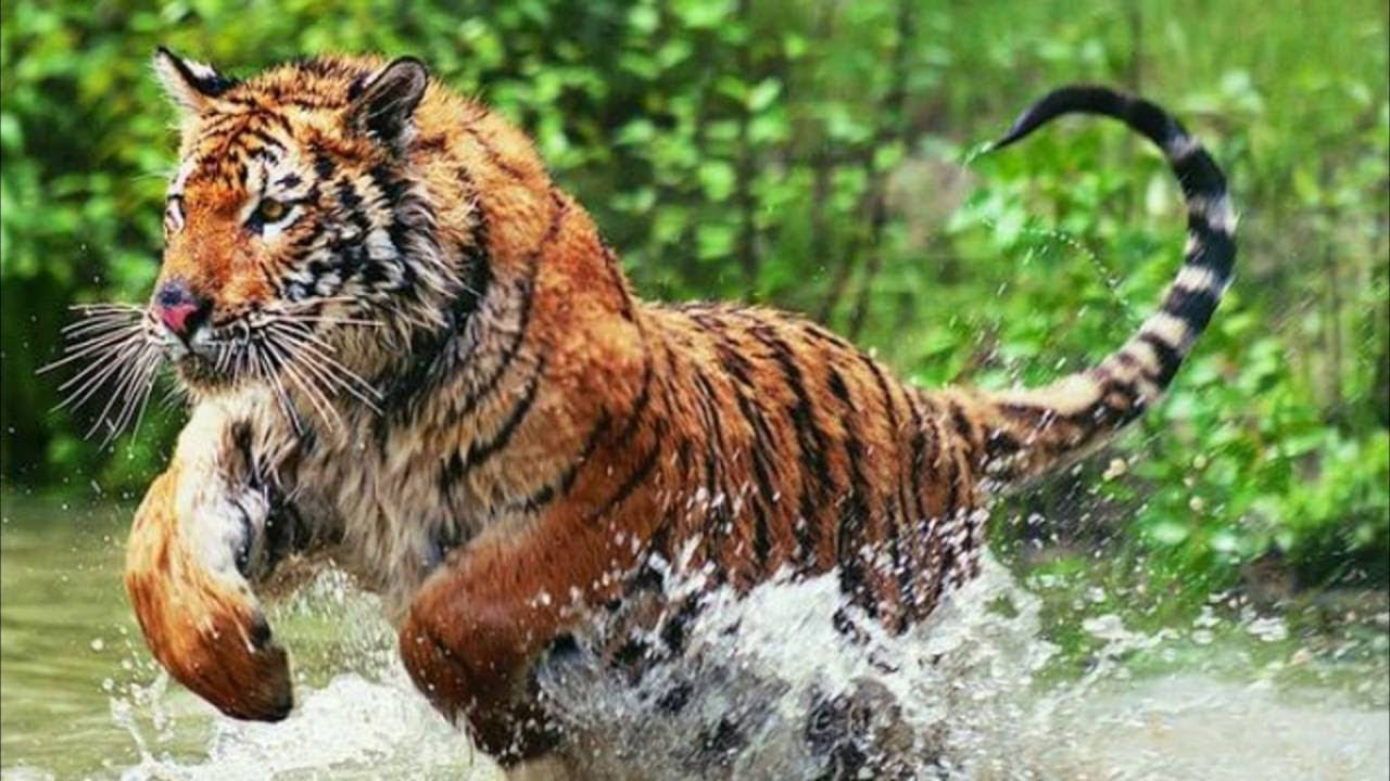 Royal Bengal Tiger ।। Wild Animals at Zoo ।। Hippopotamus ...