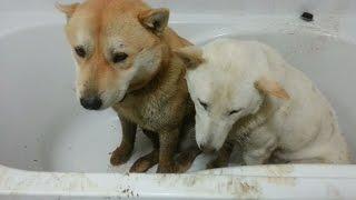 [58] 진돗개 부부 겨울철 욕실에서 목욕시키기 / A dog couple bathing after a trip