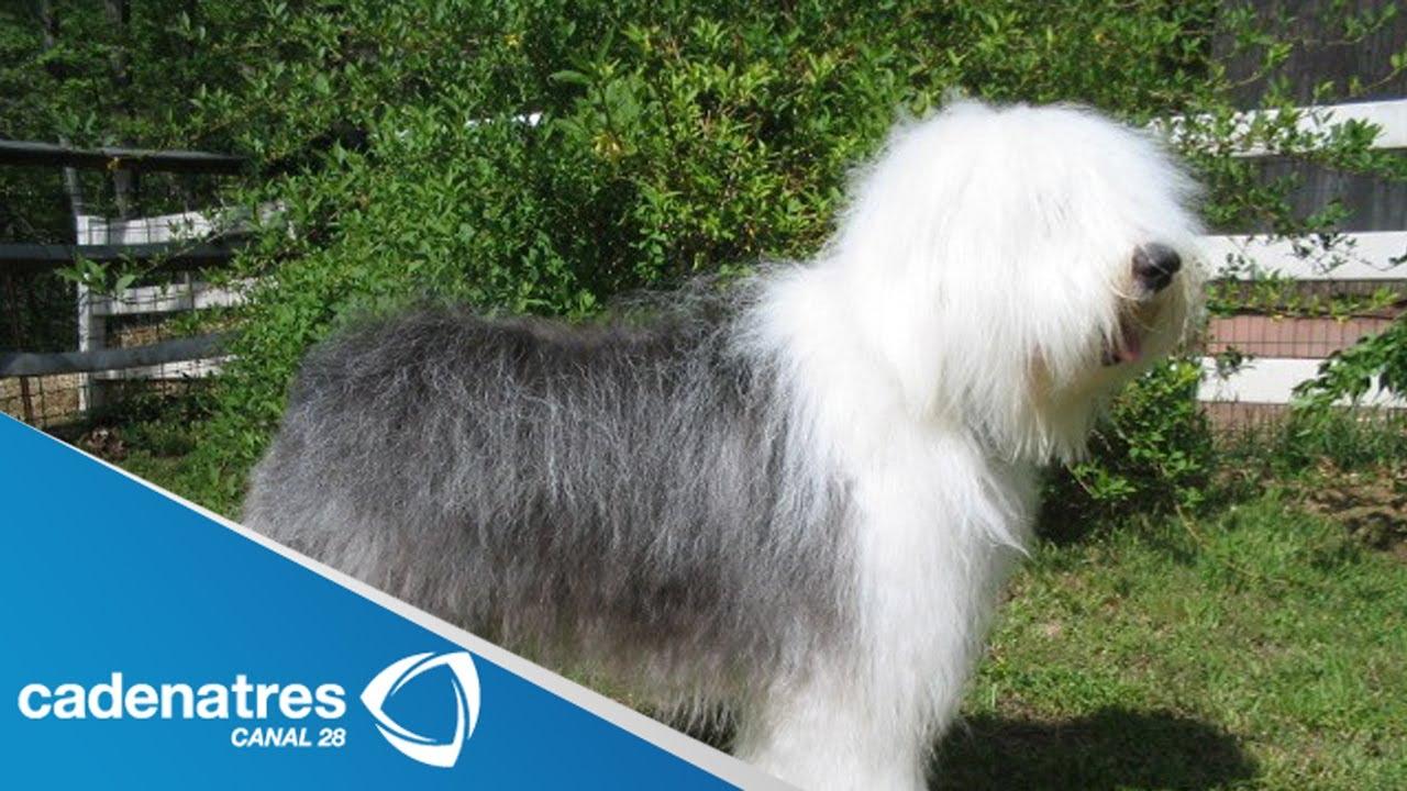 La belleza de los perros Pastor Ingls  entrevista a Nestor
