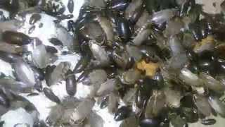 видео Мраморные тараканы: содержание, фото