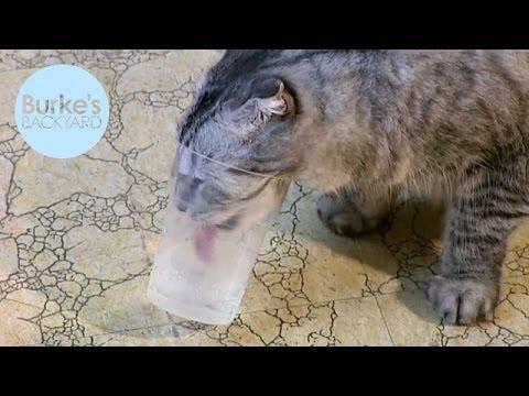 Burke's Backyard, Cat Behaviour Part 4 - Drinking from a Glass