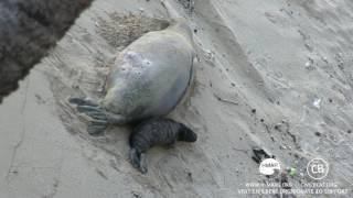 Hawaiian Monk Seal Pup Cam Day 12 Part 2 Kaimana Beach