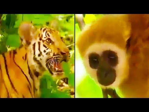 Ozzy Man Reviews: Gibbon vs Tigers