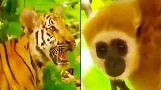 Ozzy Man Reviews: Gibbon vs Tigers