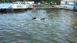 The Great Dog Swim Race  Wyatt Versus Frisco  Winona Lake Indiana 2011