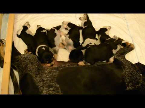 "Lucerne Hound - Hunter's Enigma ""E"" litter - feeding time"