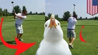 Гольфист убил чайку одним ударом