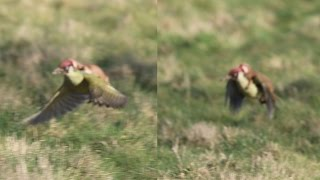 Weasel on green woodpecker (Picus viridis)