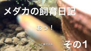 アクアリウム初心者がメダカの卵採取しました! 動画の途中で事故があっ...