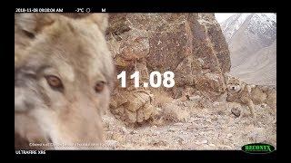 【キルギスの野生動物動画】赤外線カメラがとらえた生きもの達