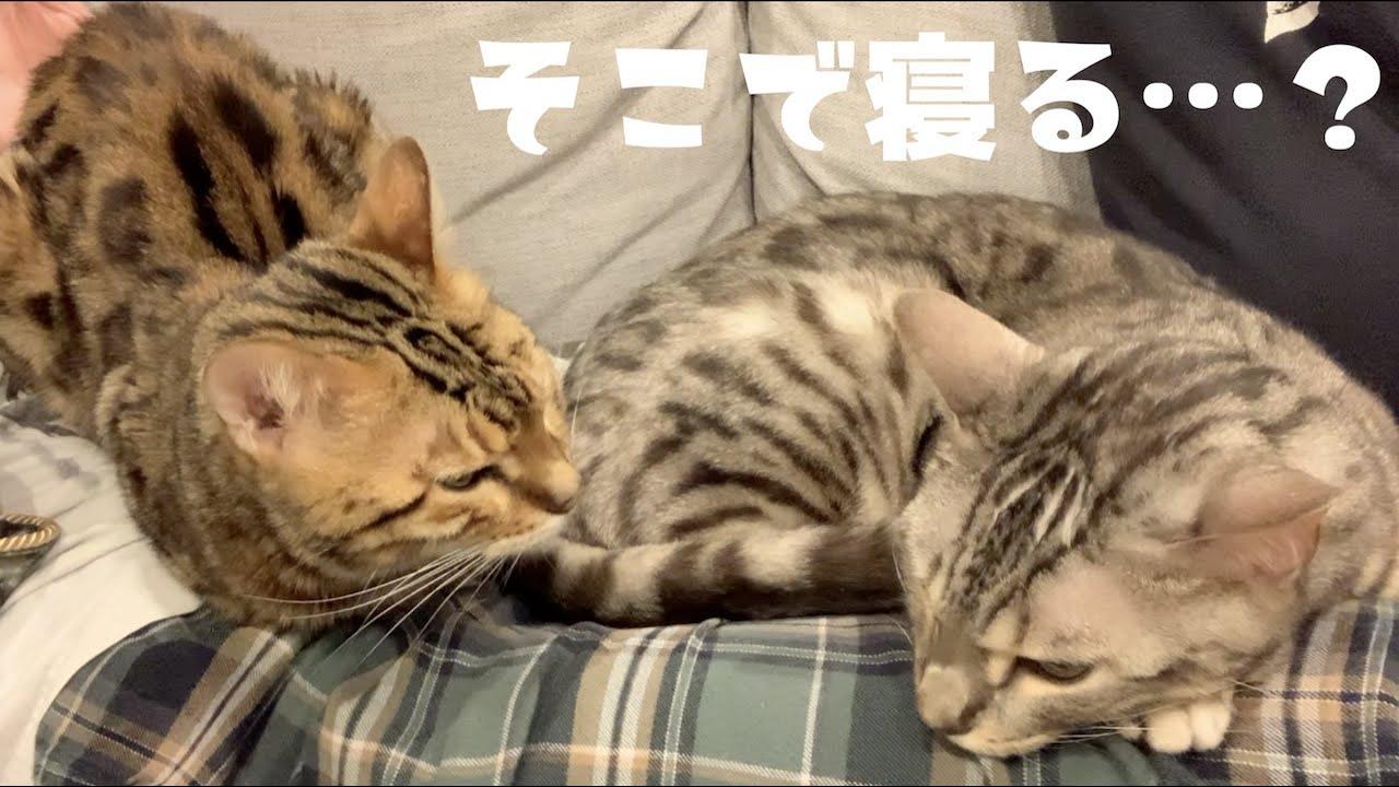 ゆったりとソファで休んでる奥さんの上で寝る2匹の猫