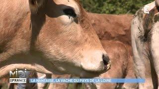 ANIMAUX ET NATURE :  La Nantaise, la vache du Pays de la Loire