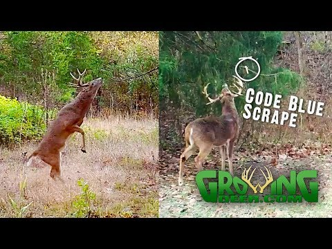 The Best Tool To Pattern And Hunt Whitetails: Scrapes! (#511)