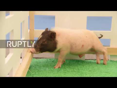 Micro pigs, cats and dogs wow visitors to Shanghai's 20th Pet Fair