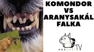 KOMONDOR vs ARANYSAKÁL falka küzdelme!  DogCast TV!