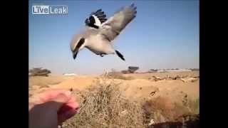 Video ★LiveLeak - Masked shrike and blackstart at the hand- slow-motion download MP3, 3GP, MP4, WEBM, AVI, FLV Juli 2018