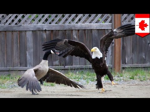 Bald eagle vs Canada goose in the battle for North American supremacy