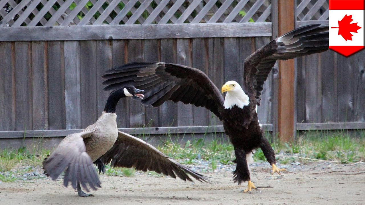 Canada Goose victoria parka outlet 2016 - Bald eagle vs. Canada goose in the battle for North American ...