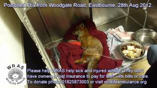Eastbourne Poisoned Fox 28th Aug 2012