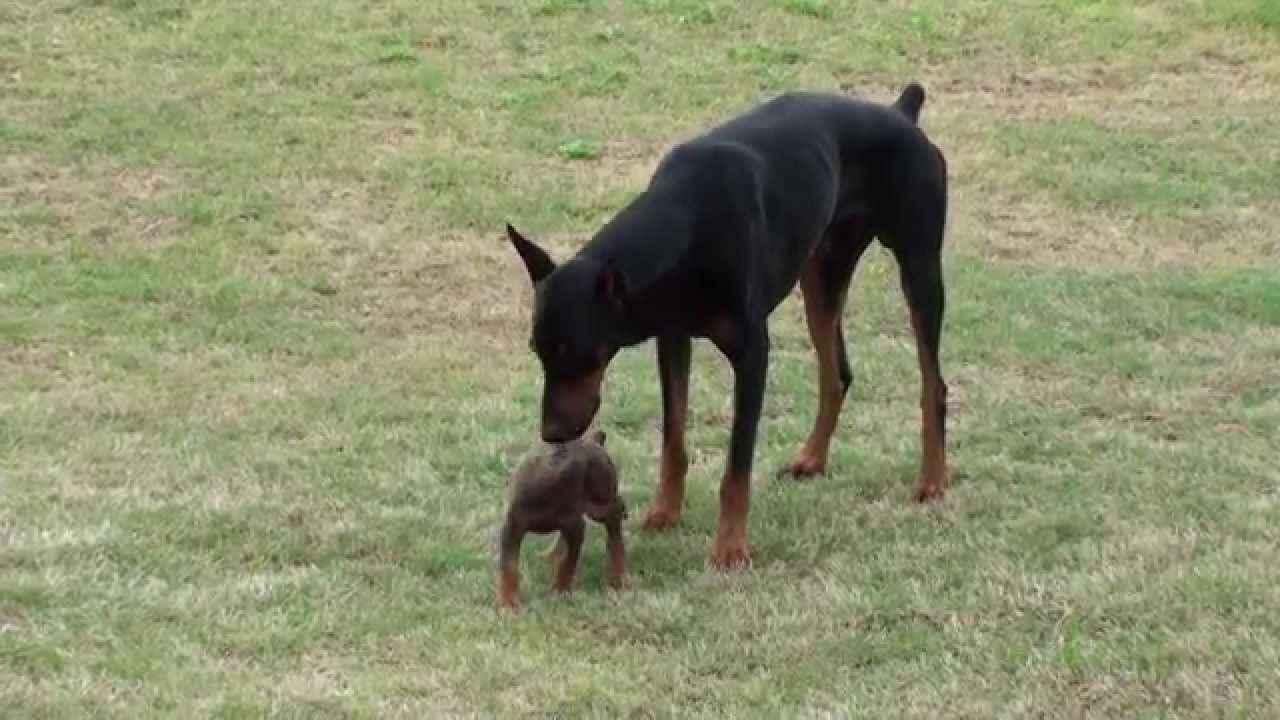 Doberman Puppy Meets The Big One Youtube