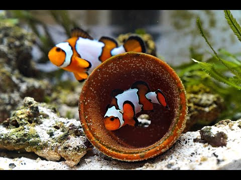Hatching Some Clownfish Eggs 4K