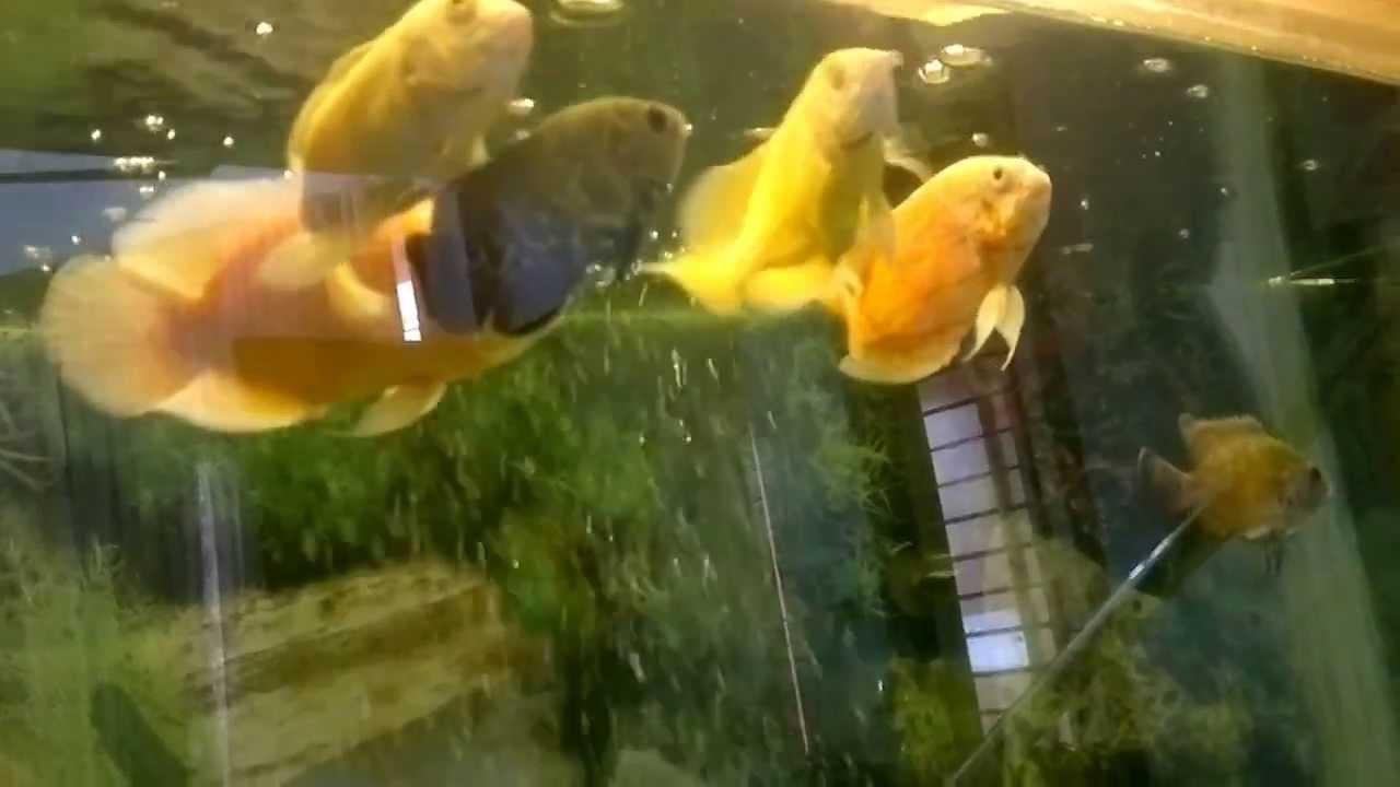 lemon oscar fish - photo #37
