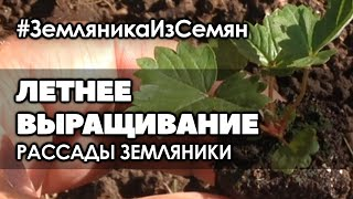 🍓 Летнее выращивание рассады мелкоплодной ремонтантной земляники.