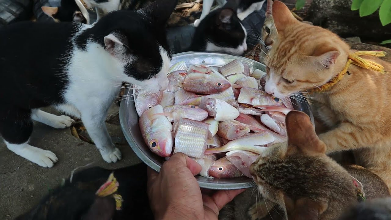 Group Cats Eating food fish - Cats eat fish -Homeless Cats in the Real live | The Gohan Dog And Cats