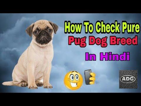 HOW TO CHECK PURE PUG DOG BREED IN HINDI / Do You know In Hindi/ Aryan Dog Club  Aryandogclub