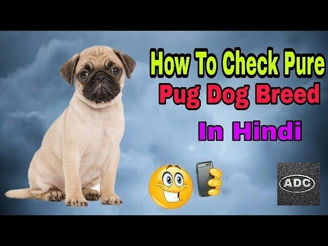 HOW TO CHECK PURE PUG DOG BREED IN HINDI / Do You know In Hindi/ Aryan Dog Club  Aryandogclub