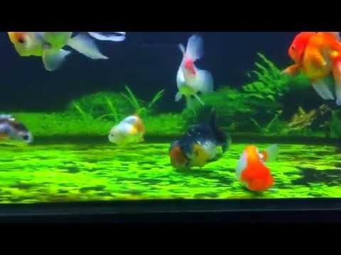 Kazie's Goldfish Tank [150205]