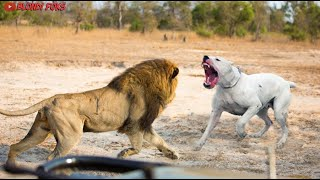 Dogo Argentino VS Lion  Trained Dogo Argentino Attacks Lion Real Fight  Blondi Foks