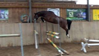 ---SOLD--- Zaza, 2012, Zambesi x Sambucco, 1st free jumping after arrival 10 16