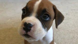 Samson the Boxer Puppy