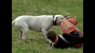 dogo argentino capture the decoy 450 metre up the hill